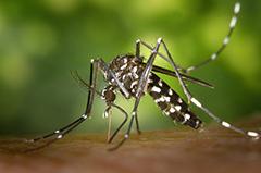 蚊 しましま